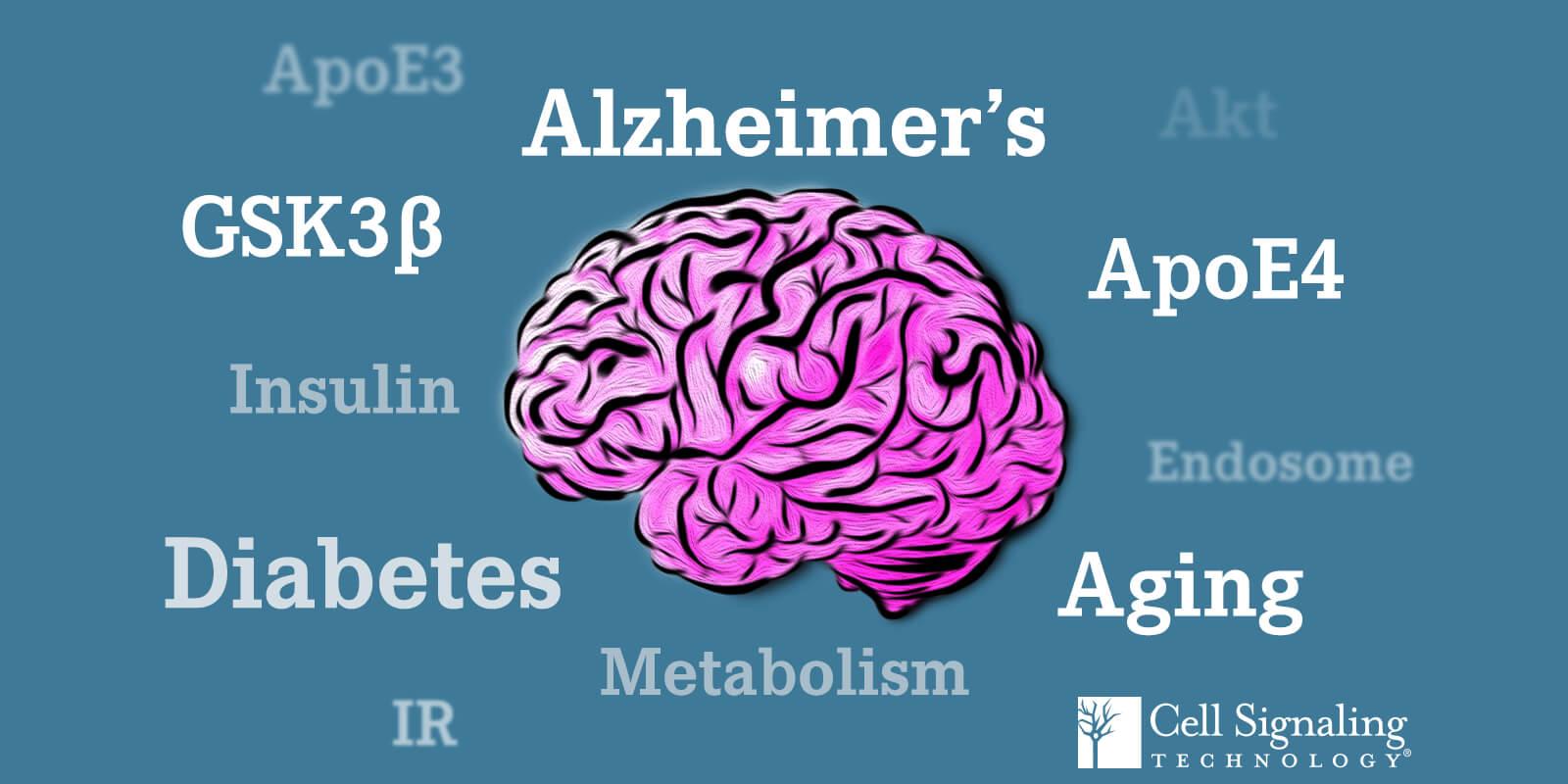 ApoE3   ApoE4   Akt   老化   阿尔兹海默病   代谢   胰岛素   糖尿病