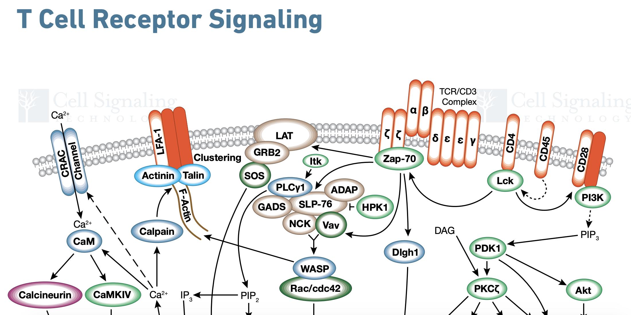 T 细胞受体信号转导图
