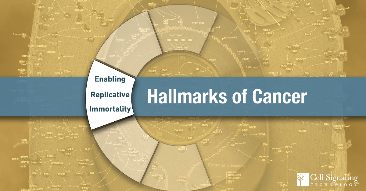 18-CEL-47955-Blog-Hallmarks-of-Cancer-Enabling-Replicative-Immortality-8