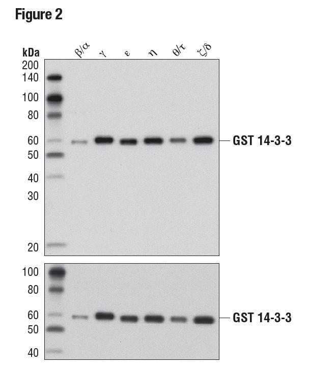 使用 14-3-3 (pan)(上)或 GST (91G1)(下)对纯化、重组、GST 标记的 14-3-3 同工型进行蛋白质印迹法分析,以表明具有同工型交叉反应性。