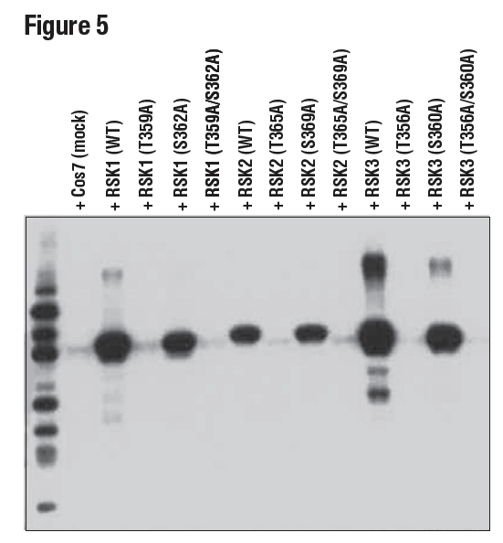 使用 Phospho-p90RSK (Thr359) (D1E9) 对 293T 细胞的提取物进行蛋白质印迹法分析