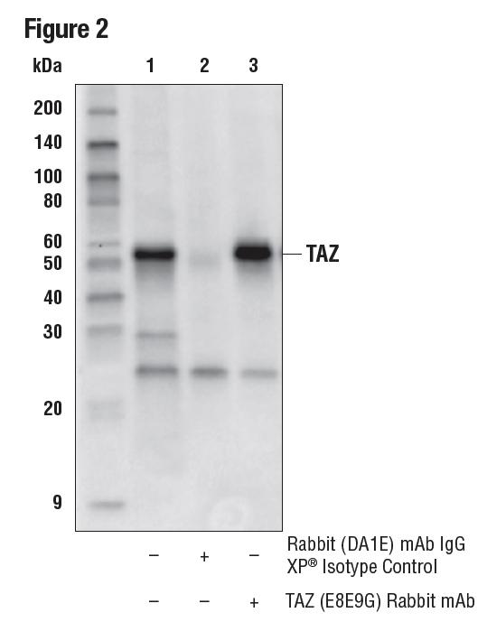 对 HeLa 细胞提取物的 TAZ 蛋白进行的免疫沉淀。