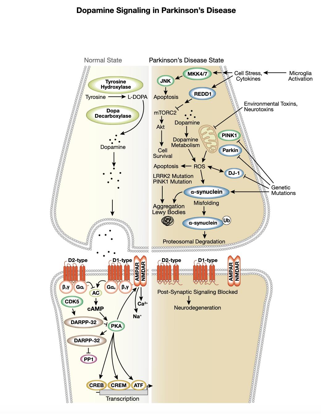 图 6  帕金森病相互作用通路中的多巴胺信号转导