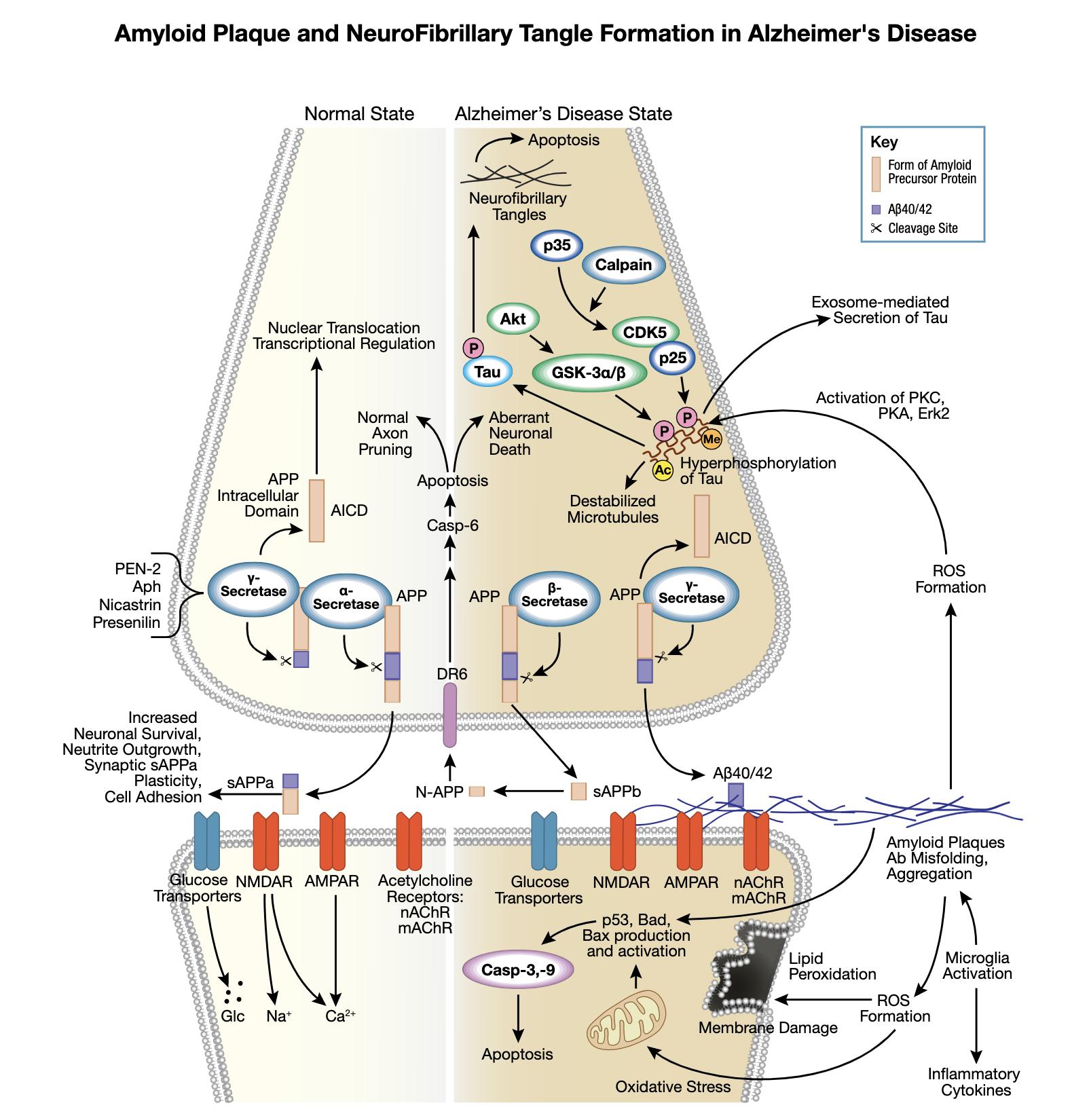 阿尔茨海默氏病的相互作用信号转导通路中的淀粉样蛋白斑块和神经原纤维缠结。