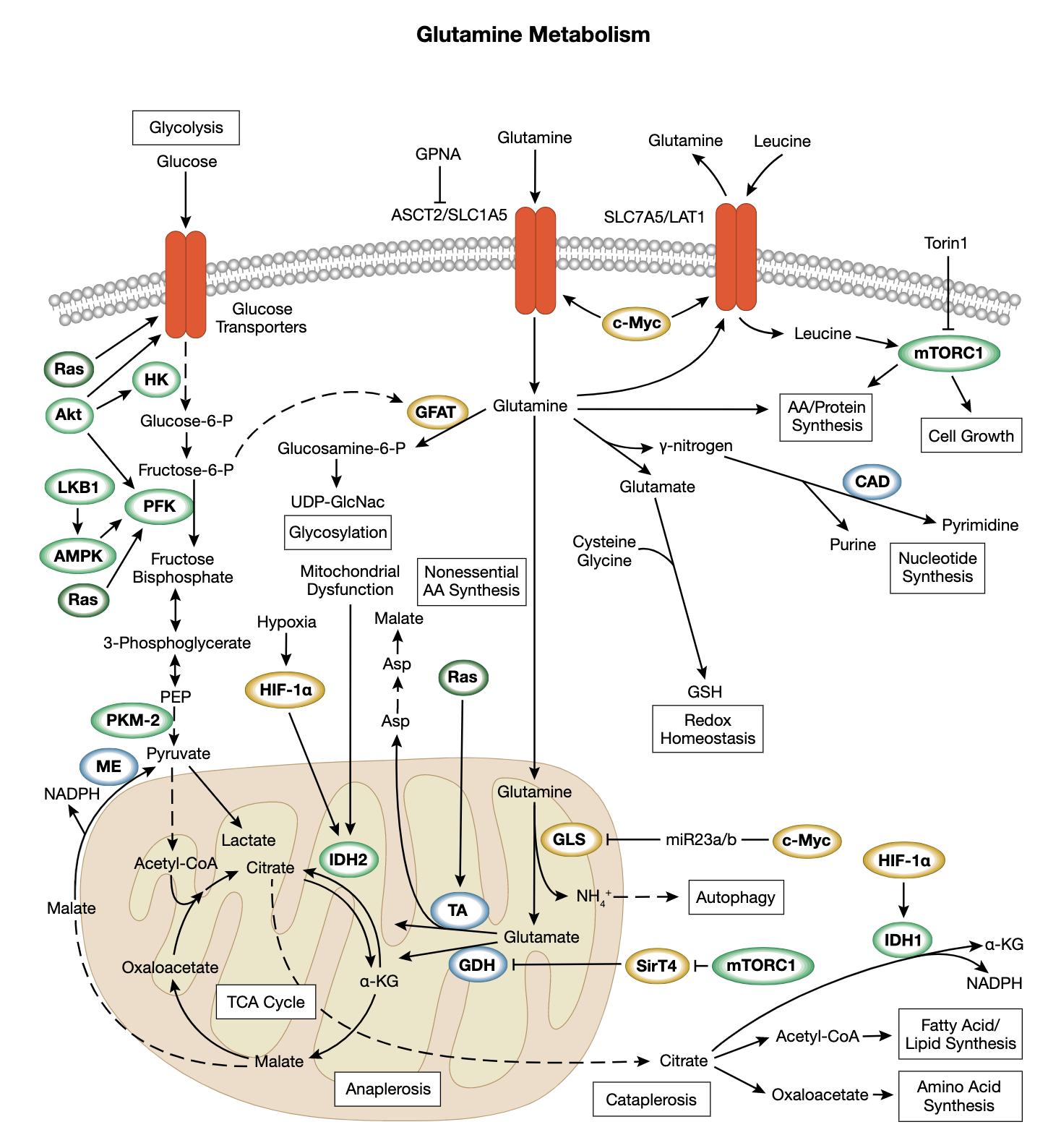 谷氨酰胺代谢相互作用信号转导通路