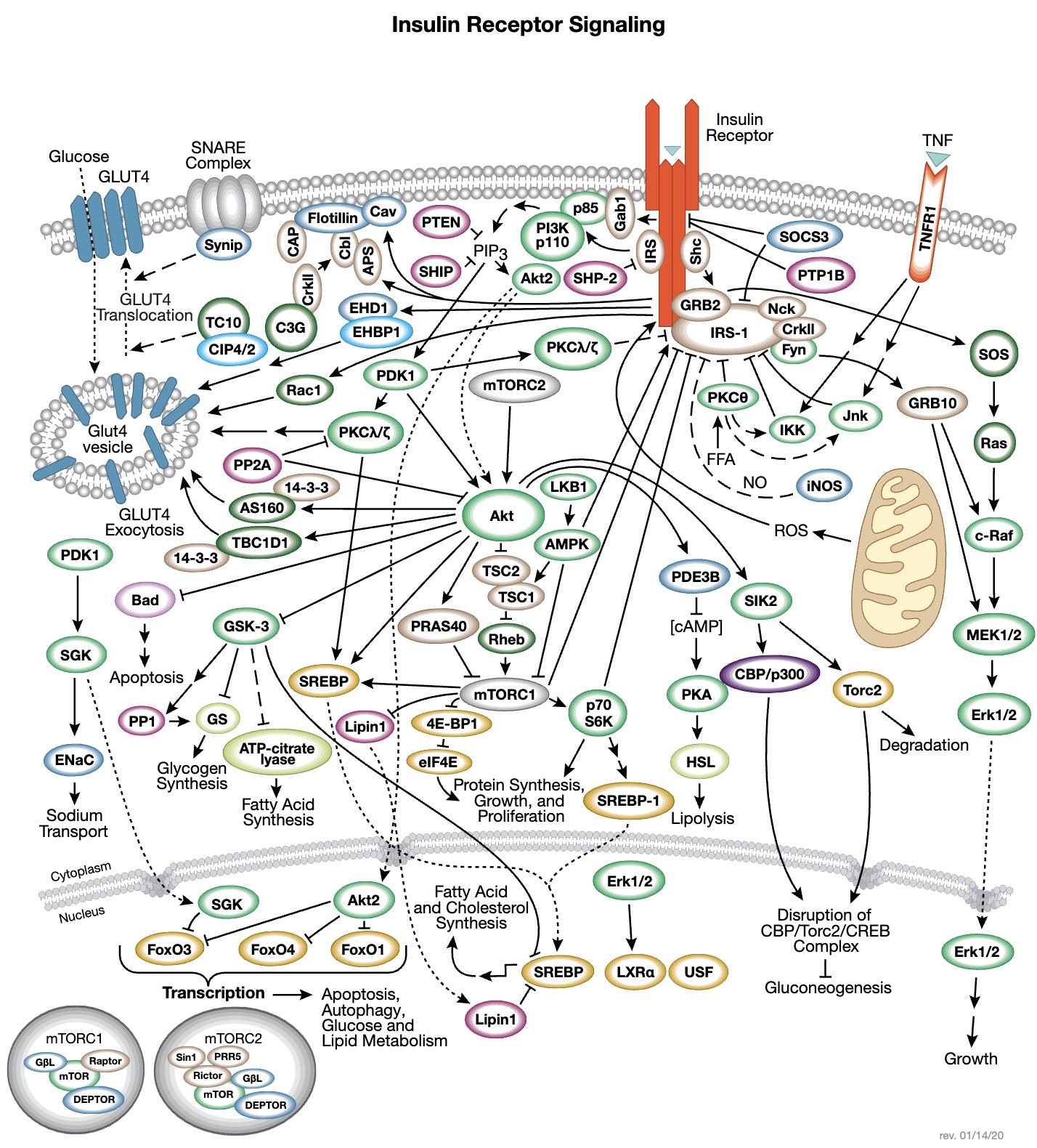 胰岛素受体信号转导相互作用通路